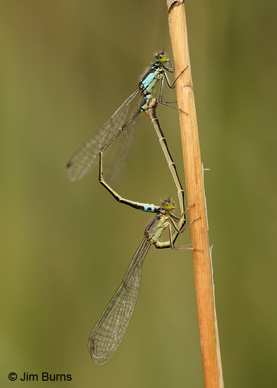 Plains Forktail pair in wheel, Coconino Co., AZ, September 2011