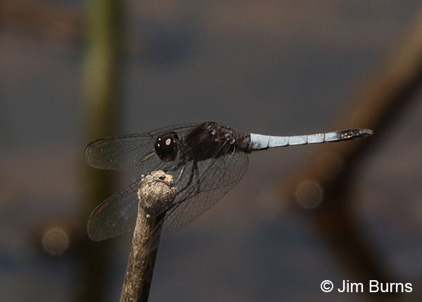 Plateau Dragonlet male, Pima Co., AZ, August 2014