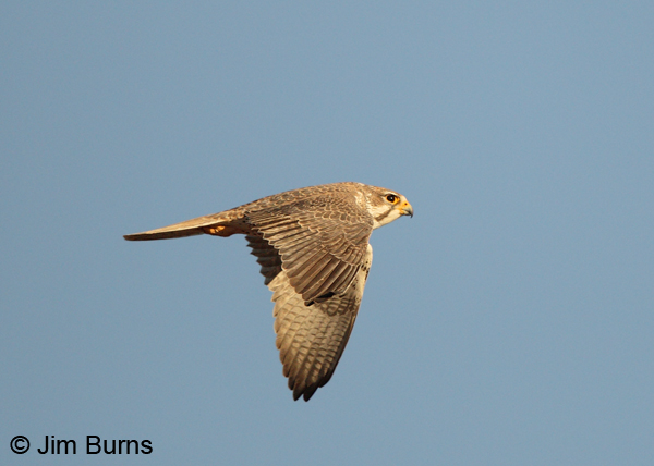 Prairie Falcon adult in flight, dorsal view