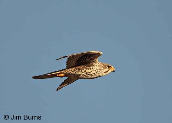 Prairie Falcon adult in flight, ventral view