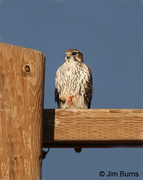Prairie Falcon immature with blood on the belly