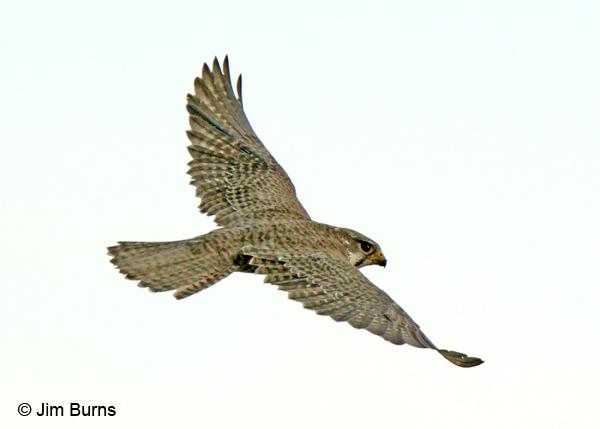 Falconiformes. sub Falconidae - sub fam Falconinae - gênero Falco - Página 2 Prairie-Falcon-in-flight,-d