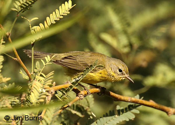 Prairie Warbler first fall female in Mesquite