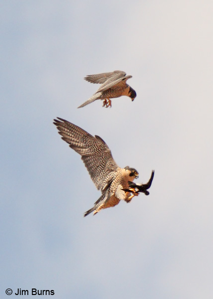 Peregrine Falcon prey exchange, White-throated Swift