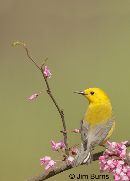 Prothonotary Warbler male in Redbud #2