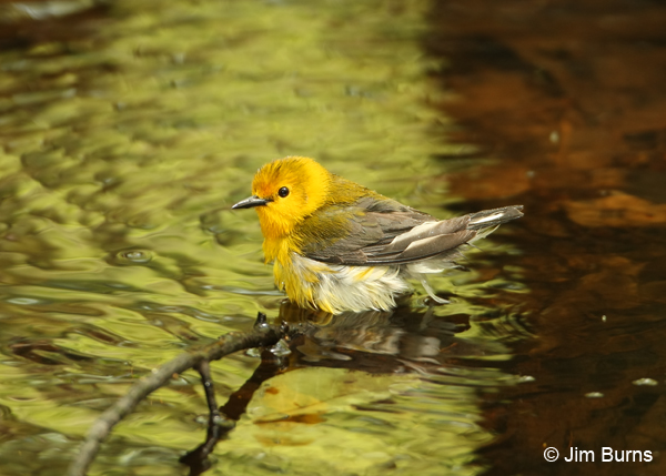 Prothonotary Warbler female bathing
