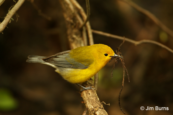 Prothonotary Warbler female with nesting material