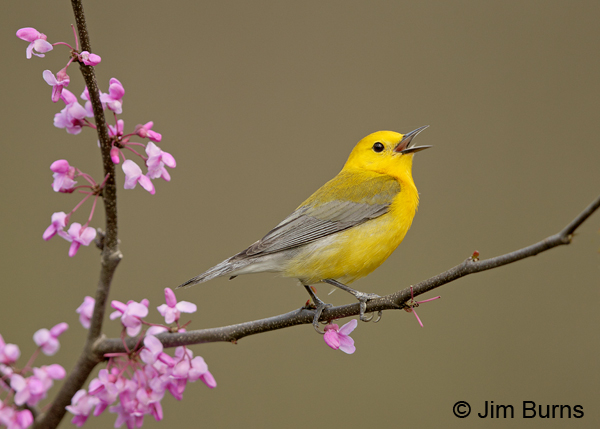 Prothonotary Warbler male in Redbud