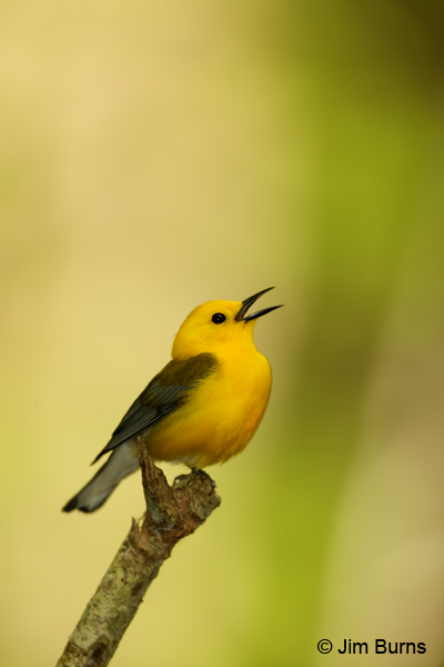 Prothonotary Warbler male singing
