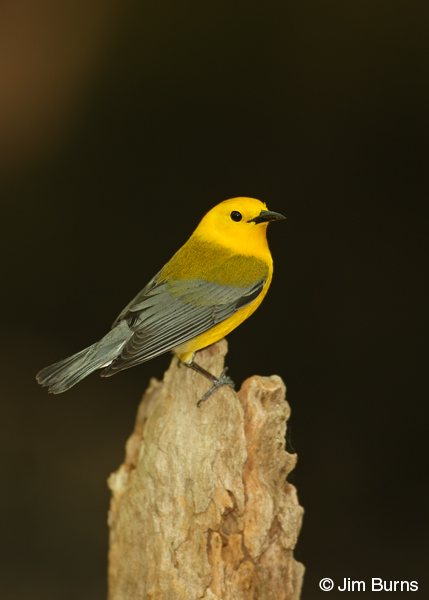 Prothonotary Warlert male