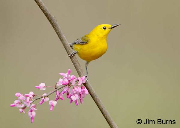 Prothonotary Warbler male in Redbud #3