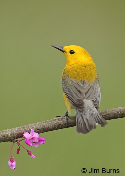 Prothonotary Warbler male in Redbud #4