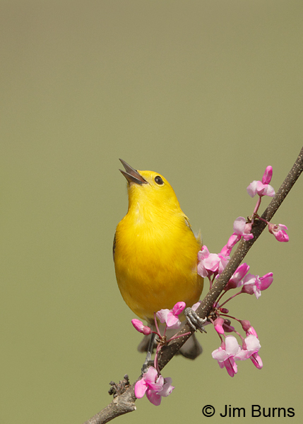 Prothonotary Warbler male in Redbud #5