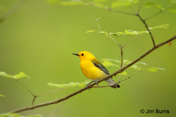 Prothonotary Warbler male spring greenery