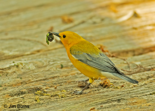Prothonotary Warbler with caterpillars