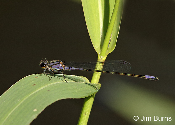 Purple Bluet male, Collier Co., FL, December 2016