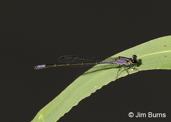 Purple Bluet male, Collier Co., FL, January 2017