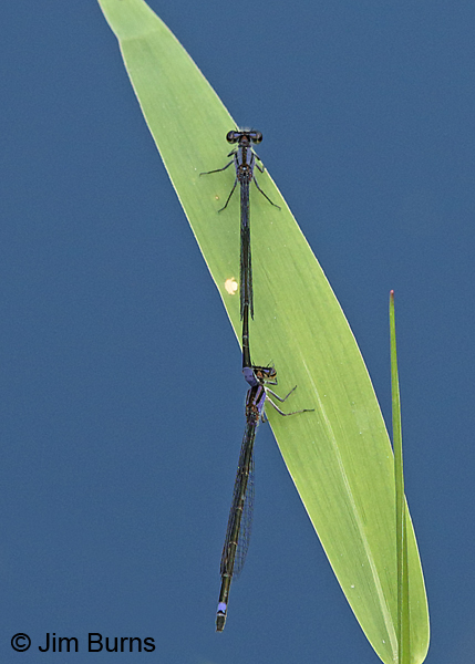 Purple Bluet pair in tandem, Collier Co., FL, December 2016