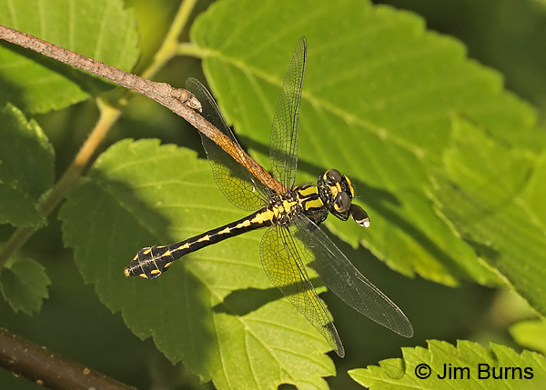 Pygmy Snaketail female eating moth, Rusk Co., WI, June 2014