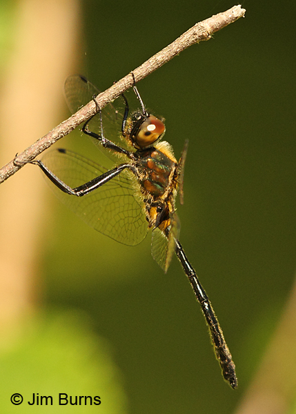 Racket-tailed Emerald immature male, Vilas Co., WI, June 2014