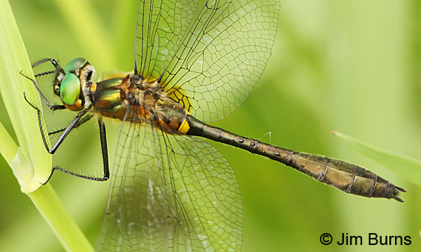 Racket-tailed Emerald male dorsolateral close-up showing forewing triangle venation, Washington Co., MN, June 2014