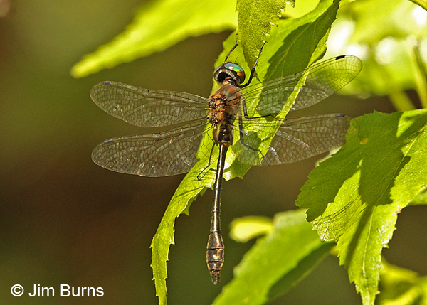 Racket-tailed Emerald male, Penobscot Co., ME, July 2014