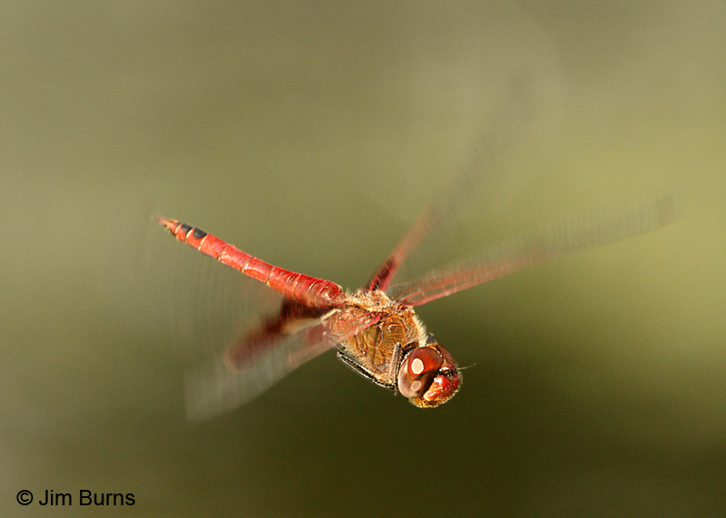 Red Saddlebags male in flight, Hidalgo Co., TX, October 2011