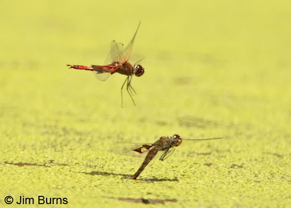 Red Saddlebags pair, male readying to reclaim ovipositing female, Pima Co., AZ, July 2012
