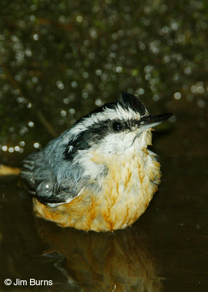 Red-breasted Nuthatch bathing