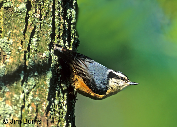 Red-breasted Nuthatch in traditional pose