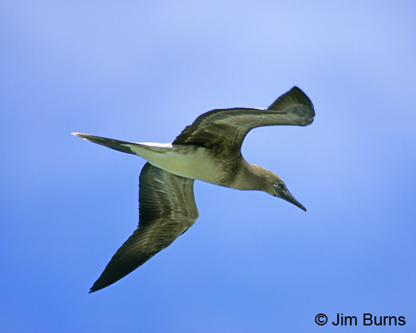 Red-footed Booby brown morph