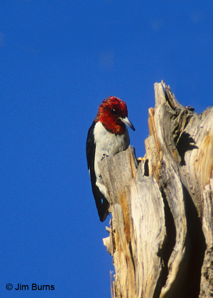 Red-headed Woodpecker at work