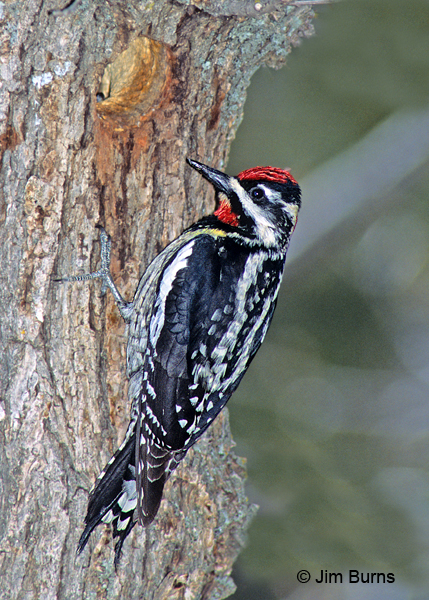 Red-naped Sapsucker female at nest hole