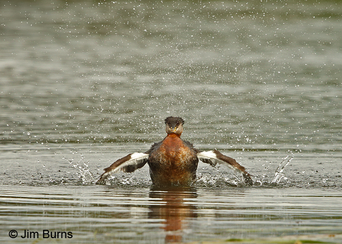 Red-necked Grebe bathing