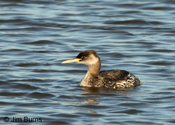 Red-necked Grebe nonbreeding