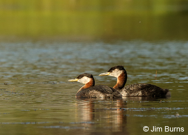 Red-necked Grebe pair, larger male on right