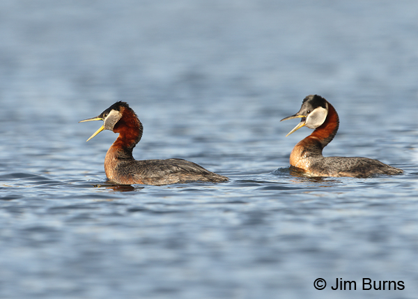 Red-necked Grebe pair calling, male on left