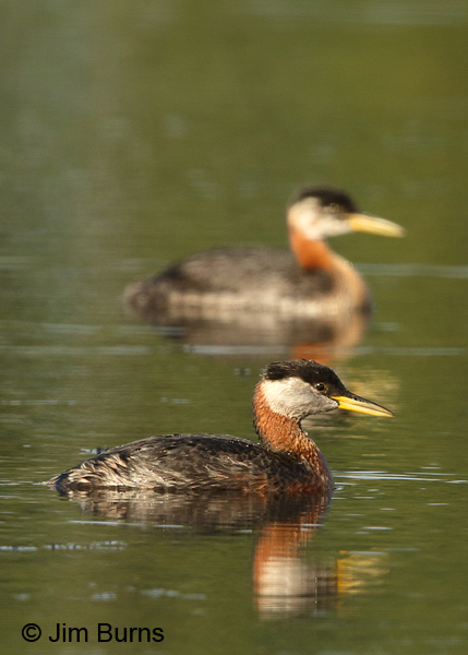 Red-necked Grebe with background juvenile