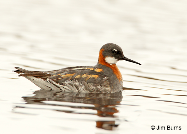 Red-necked Phalarope female alternate plumage