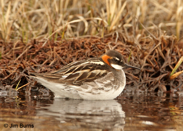Red-necked Phalarope male alternate plumage