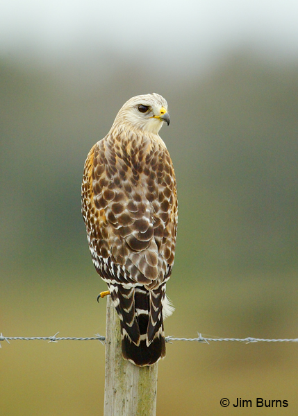Red-shouldered Hawk on fencepost