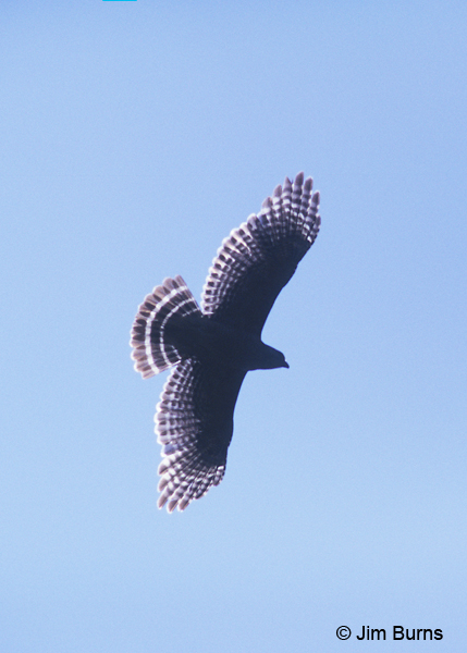 Red-shouldered Hawk overhead