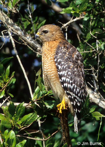 Red-shouldered Hawk perched