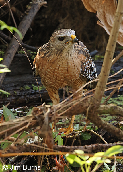 Red-shouldered Hawk plucking Pig Frog