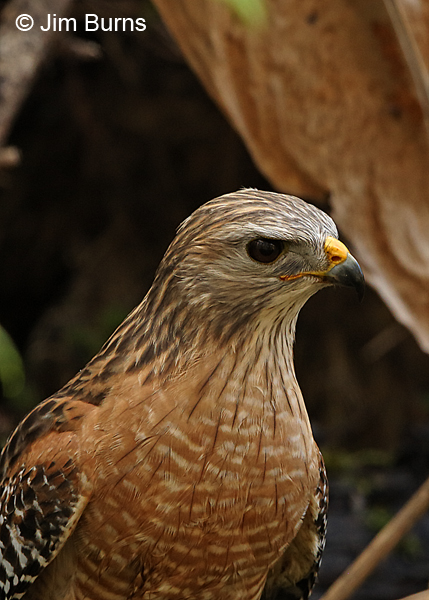 Red-shouldered Hawk ventral close-up