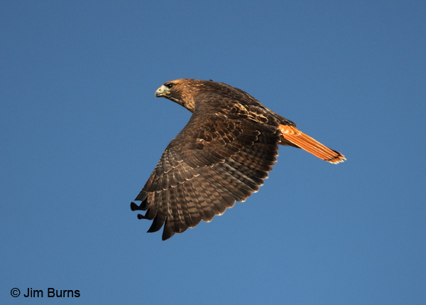 Red-tail classic in flight