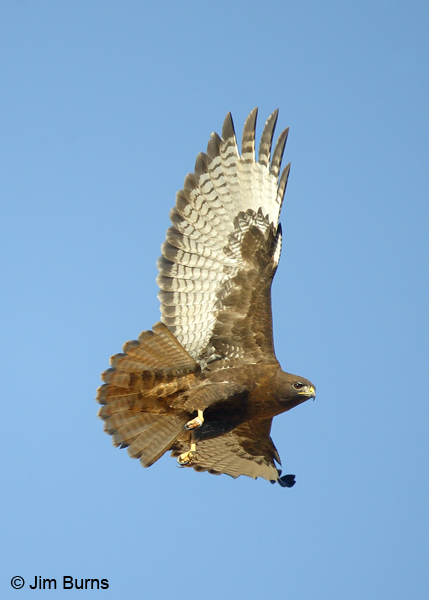 Red-tailed Hawk adult dark morph western in flight