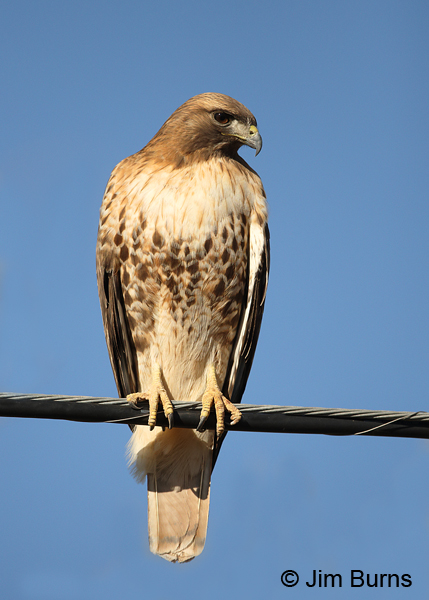 Red-tailed Hawk adult light morph western on wire