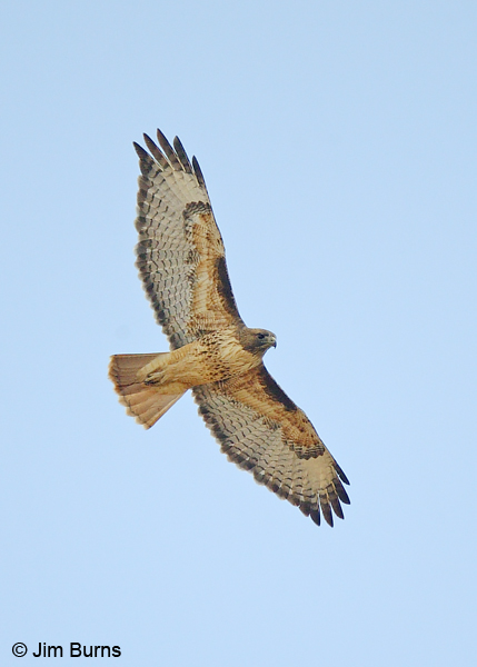 Red-tailed Hawk adult light morph western in flight