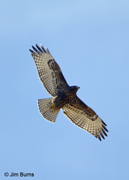 Red-tailed Hawk juvenile dark morph western in flight